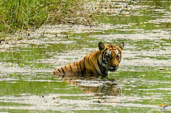 Tiger Chitwan National Park, Nepal