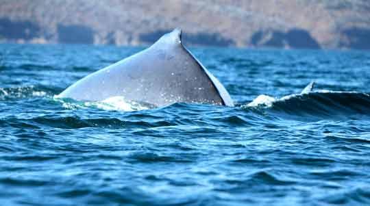 Ruttanai Whale in the Galapagos Islands