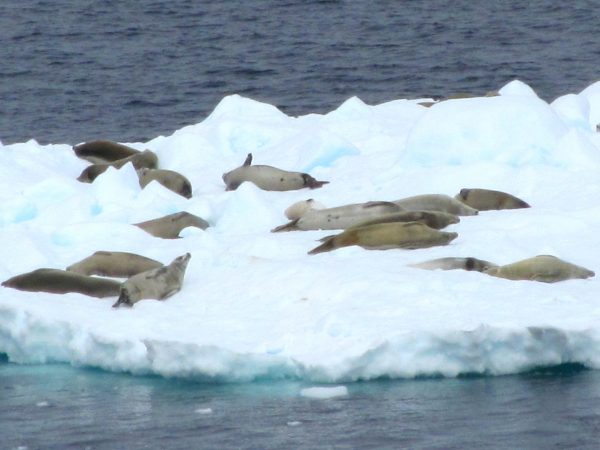 Earless fur seals take a ride on an iceberg taxi