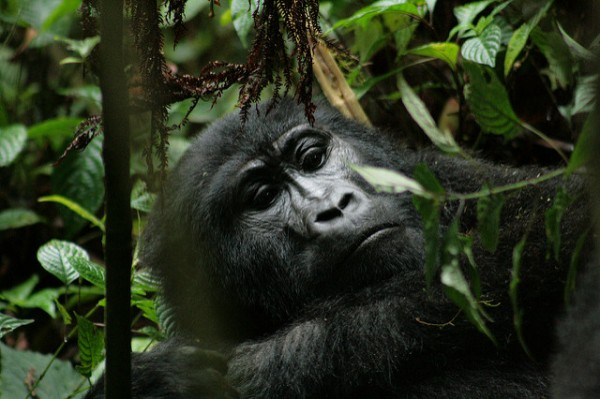 Gorilla hiking impenetrable forest bwindi uganda
