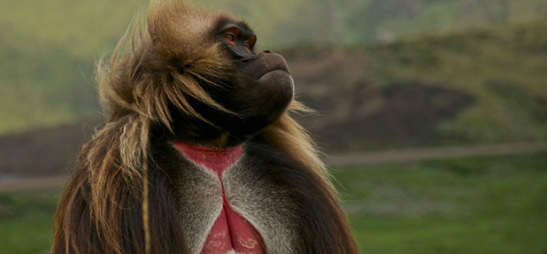 The Gelada 'bleeding heart' baboon – endemic to the highlands of Ethiopia Image – Sam McManus