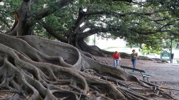 Rubber trees rio negro